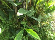⽉桃は与論島で栽培した天然無農薬の葉